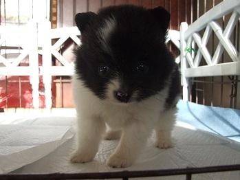 ポメラニアンの子犬(ID:1250511026)の2枚目の写真/更新日:2018-01-18
