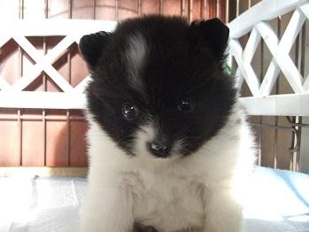 ポメラニアンの子犬(ID:1250511026)の3枚目の写真/更新日:2018-01-18