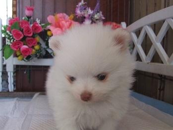 ポメラニアンの子犬(ID:1250511027)の2枚目の写真/更新日:2018-02-06