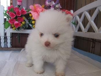 ポメラニアンの子犬(ID:1250511027)の3枚目の写真/更新日:2018-02-06