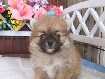 ポメラニアンの子犬(ID:1250511028)の1枚目の写真/更新日:2018-02-06