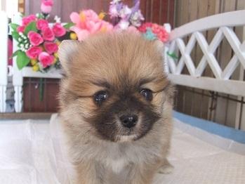 ポメラニアンの子犬(ID:1250511028)の2枚目の写真/更新日:2018-02-06