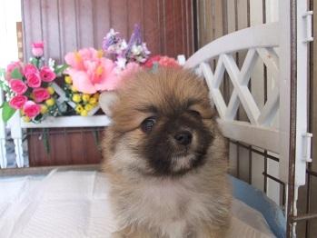 ポメラニアンの子犬(ID:1250511028)の3枚目の写真/更新日:2018-02-06