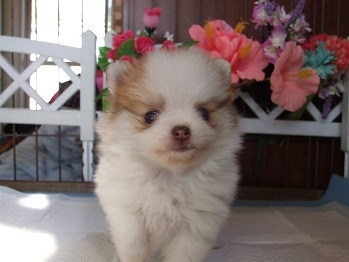 ポメラニアンの子犬(ID:1250511029)の1枚目の写真/更新日:2018-02-06