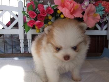 ポメラニアンの子犬(ID:1250511029)の2枚目の写真/更新日:2018-02-06