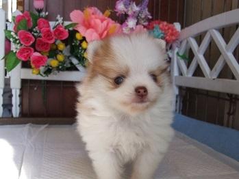 ポメラニアンの子犬(ID:1250511029)の3枚目の写真/更新日:2018-02-06