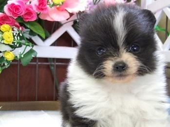 ポメラニアンの子犬(ID:1250511030)の1枚目の写真/更新日:2018-02-10