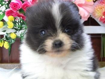 ポメラニアンの子犬(ID:1250511030)の2枚目の写真/更新日:2018-02-10