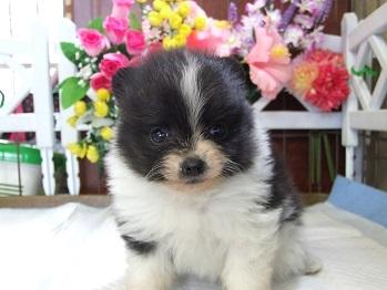 ポメラニアンの子犬(ID:1250511030)の3枚目の写真/更新日:2018-02-10