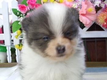 ポメラニアンの子犬(ID:1250511031)の1枚目の写真/更新日:2018-02-10