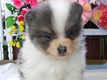 ポメラニアンの子犬(ID:1250511031)の2枚目の写真/更新日:2018-02-10