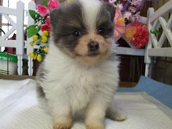 ポメラニアンの子犬(ID:1250511031)の3枚目の写真/更新日:2018-02-10