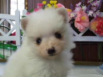 ポメラニアンの子犬(ID:1250511032)の1枚目の写真/更新日:2018-02-10
