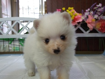 ポメラニアンの子犬(ID:1250511032)の2枚目の写真/更新日:2018-02-10