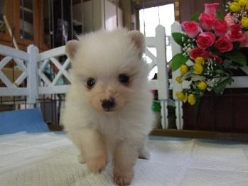 ポメラニアンの子犬(ID:1250511032)の3枚目の写真/更新日:2018-02-10