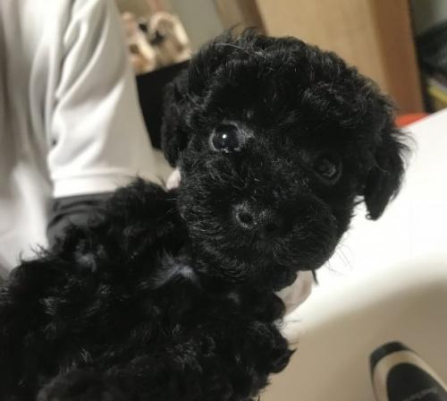 トイプードルの子犬(ID:1250711003)の3枚目の写真/更新日:2018-09-25