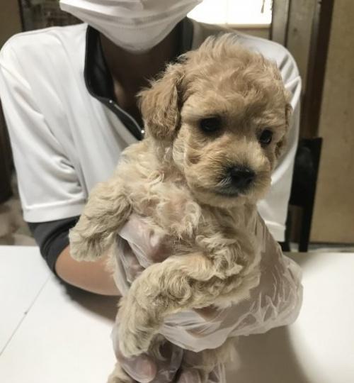 トイプードルの子犬(ID:1250711004)の2枚目の写真/更新日:2018-09-25
