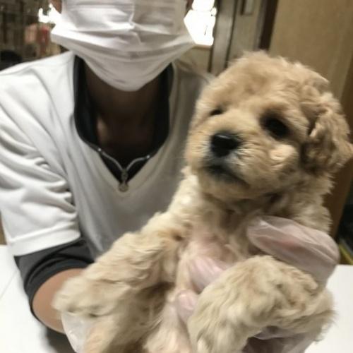トイプードルの子犬(ID:1250711004)の3枚目の写真/更新日:2018-09-25
