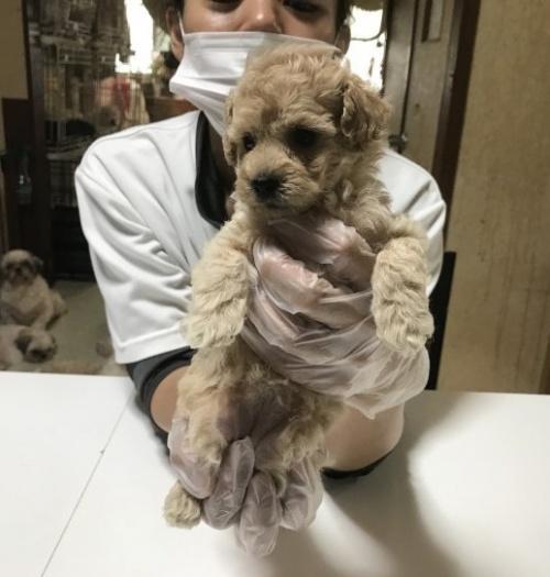 トイプードルの子犬(ID:1250711004)の4枚目の写真/更新日:2018-09-25