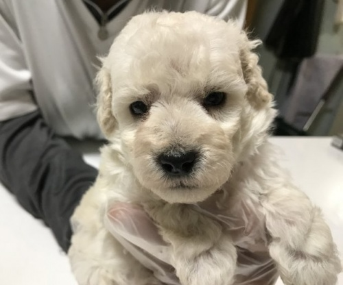 トイプードルの子犬(ID:1250711007)の1枚目の写真/更新日:2018-09-25