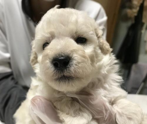 トイプードルの子犬(ID:1250711007)の2枚目の写真/更新日:2018-09-25