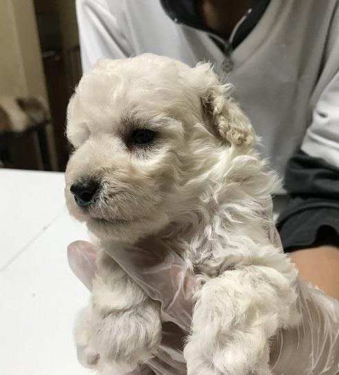 トイプードルの子犬(ID:1250711007)の3枚目の写真/更新日:2018-09-25