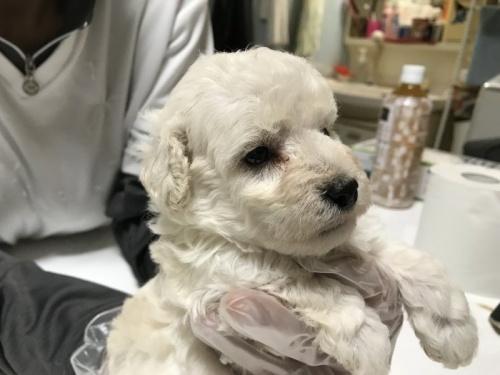 トイプードルの子犬(ID:1250711007)の4枚目の写真/更新日:2018-09-25