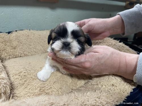 シーズーの子犬(ID:1250711013)の1枚目の写真/更新日:2018-07-16