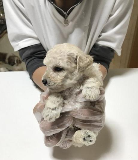 トイプードルの子犬(ID:1250711021)の2枚目の写真/更新日:2018-09-25