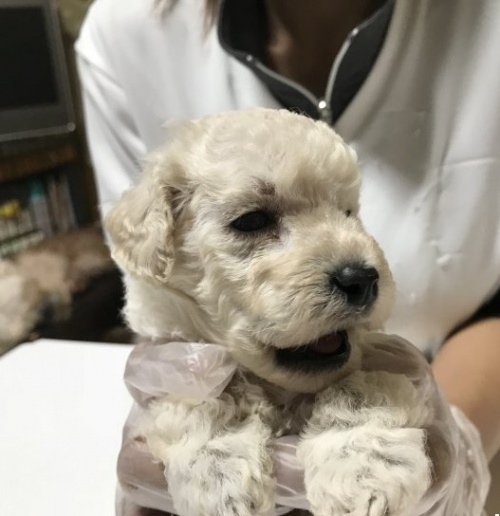 トイプードルの子犬(ID:1250711023)の2枚目の写真/更新日:2018-09-25