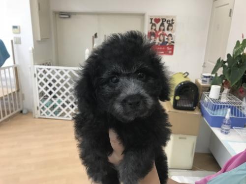 トイプードルの子犬(ID:1250711024)の1枚目の写真/更新日:2018-10-31