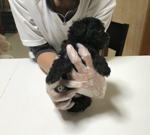 トイプードルの子犬(ID:1250711024)の4枚目の写真/更新日:2018-09-25
