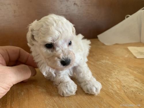 トイプードルの子犬(ID:1250711026)の2枚目の写真/更新日:2019-10-03