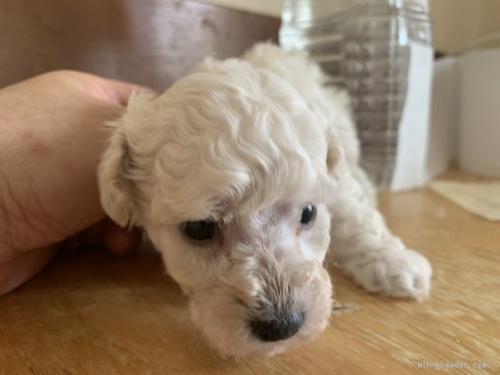トイプードルの子犬(ID:1250711026)の3枚目の写真/更新日:2019-10-03