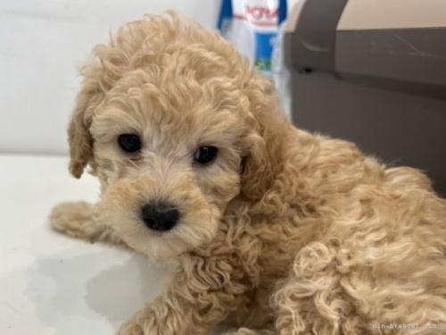 トイプードルの子犬(ID:1250711031)の2枚目の写真/更新日:2021-03-25