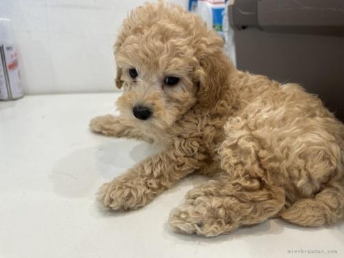 トイプードルの子犬(ID:1250711031)の3枚目の写真/更新日:2021-03-25