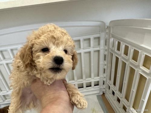 トイプードルの子犬(ID:1250711031)の5枚目の写真/更新日:2021-03-25