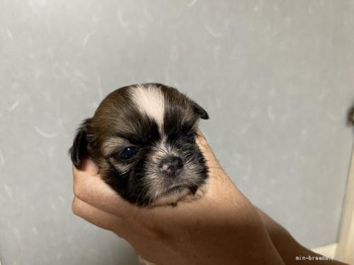 シーズーの子犬(ID:1250711032)の1枚目の写真/更新日:2021-10-15