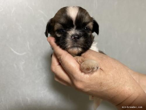 シーズーの子犬(ID:1250711032)の2枚目の写真/更新日:2021-10-15