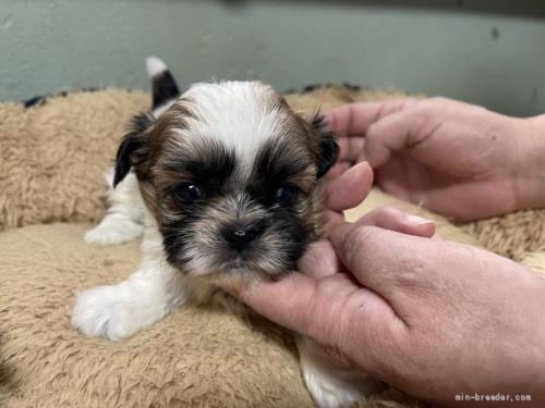 シーズーの子犬(ID:1250711033)の1枚目の写真/更新日:2018-07-16