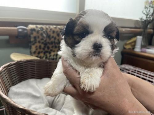 シーズーの子犬(ID:1250711034)の3枚目の写真/更新日:2018-07-16