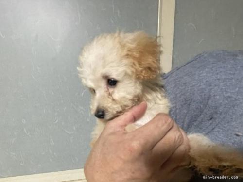 トイプードルの子犬(ID:1250711035)の2枚目の写真/更新日:2020-06-03