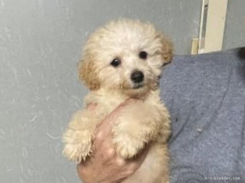 トイプードルの子犬(ID:1250711035)の3枚目の写真/更新日:2020-06-03