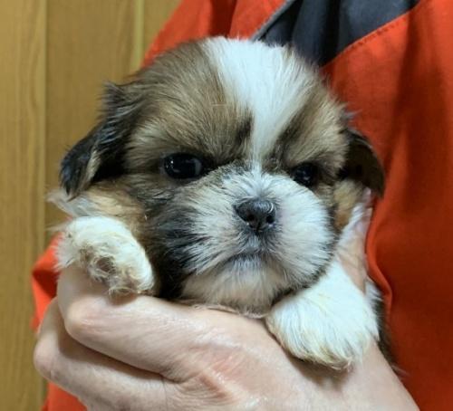 シーズーの子犬(ID:1250711038)の1枚目の写真/更新日:2018-07-12