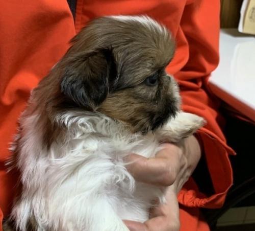 シーズーの子犬(ID:1250711038)の2枚目の写真/更新日:2018-07-12