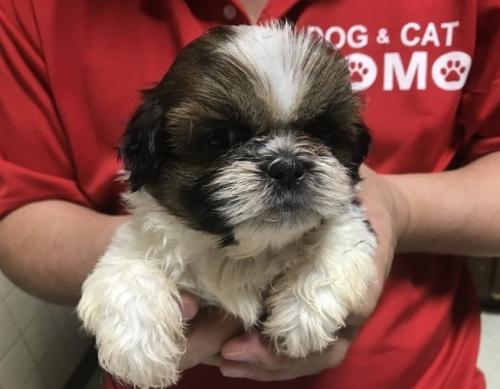 シーズーの子犬(ID:1250711040)の1枚目の写真/更新日:2018-07-12