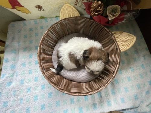 シーズーの子犬(ID:1250711044)の5枚目の写真/更新日:2018-09-05