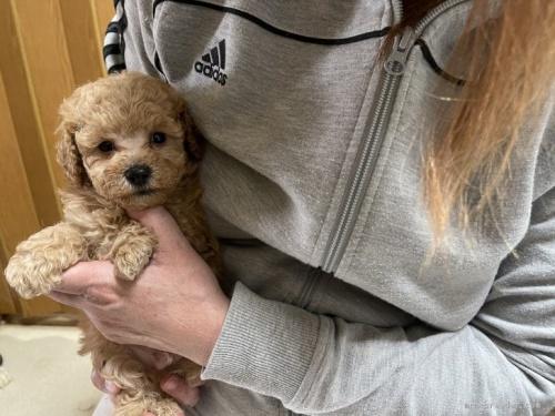 トイプードルの子犬(ID:1250711053)の1枚目の写真/更新日:2021-03-25