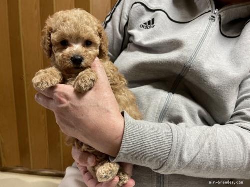 トイプードルの子犬(ID:1250711053)の2枚目の写真/更新日:2021-03-25