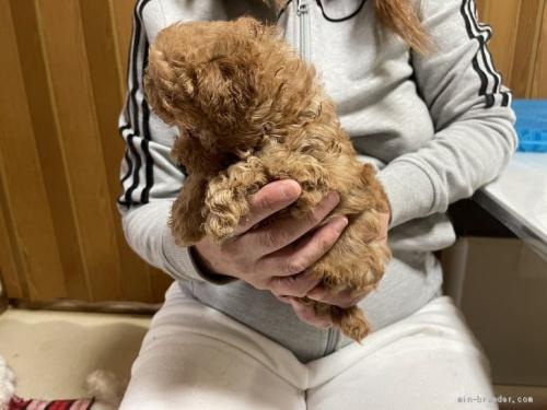 トイプードルの子犬(ID:1250711053)の3枚目の写真/更新日:2021-03-25